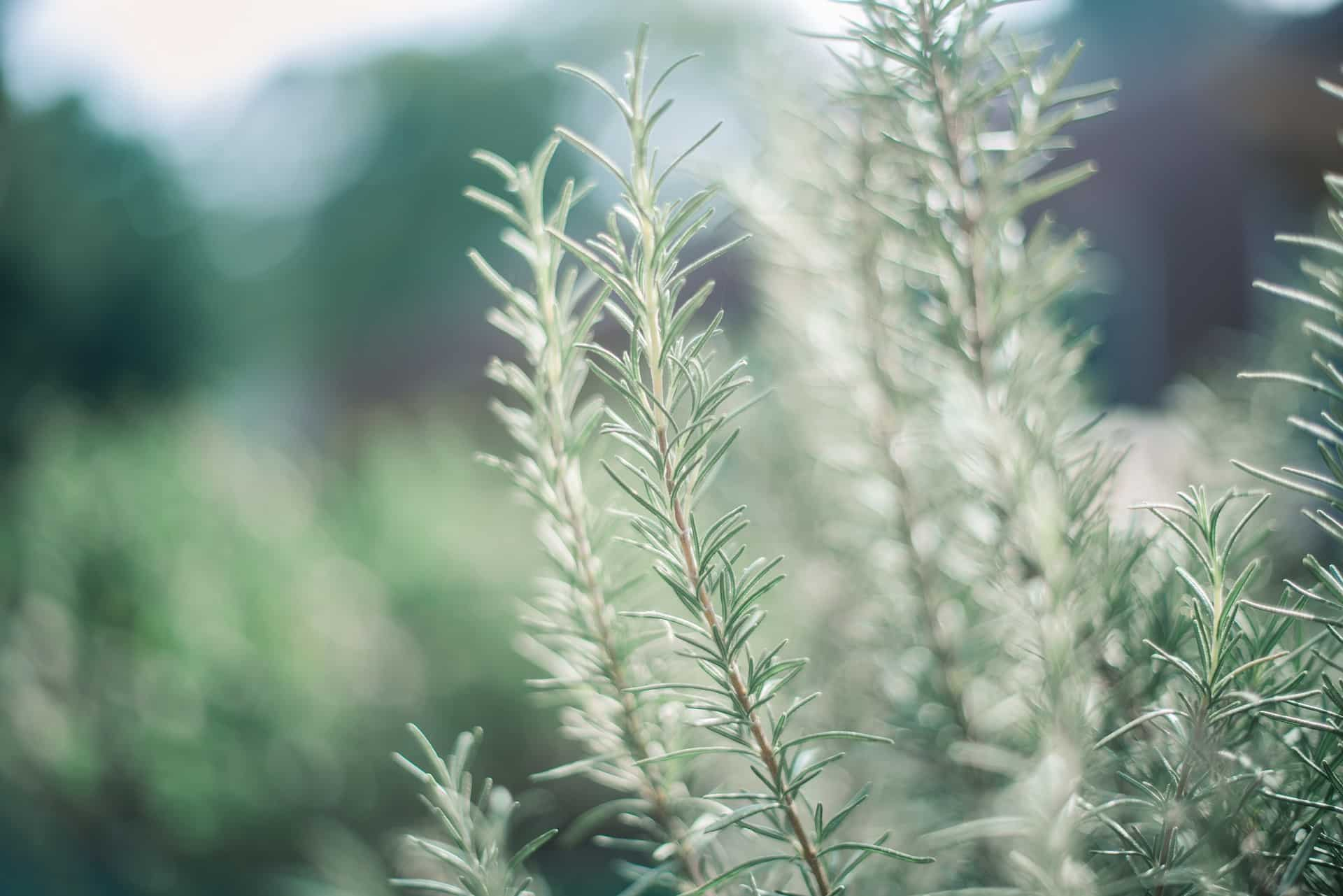 Which Cat Repellent Plants Work - Rosemary