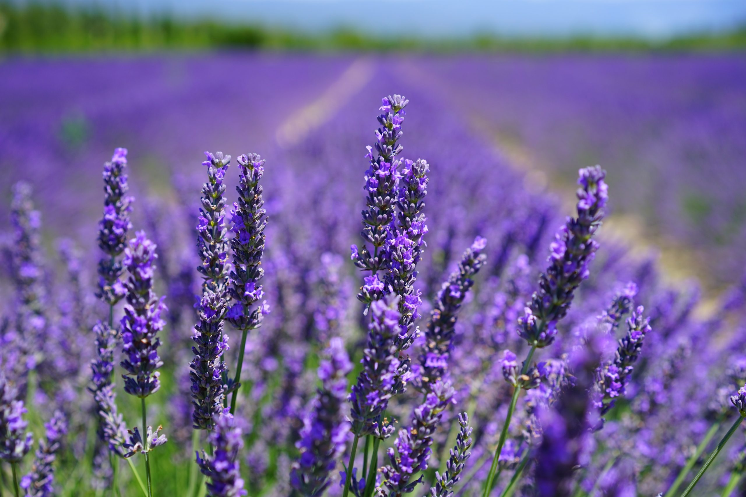 Do Cats Like Lavender?
